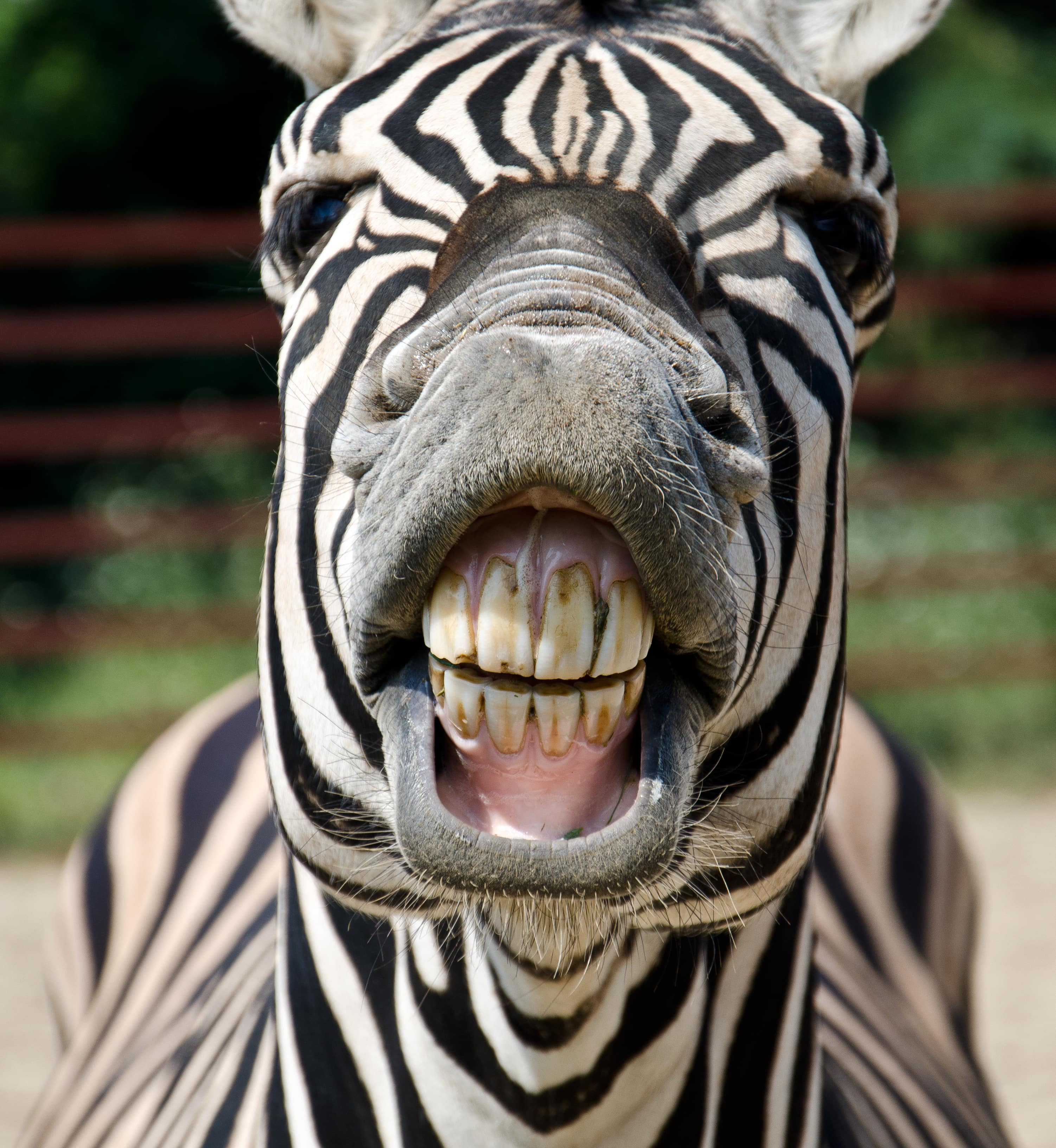 Zebra with raised lips so you can see its teeth
